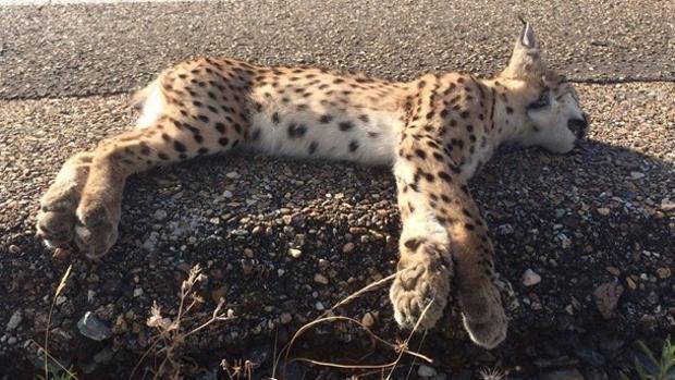 Muere un lince ibérico atropellado en la carretera N-442 en Mazagón