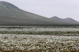 El desierto de Atacama florece por sorpresa