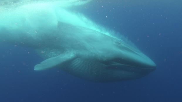 Así se volvieron gigantes las ballenas