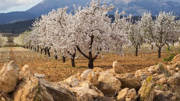 Unos agricultores, forzados a contratar arqueólogos para poder plantar almendros