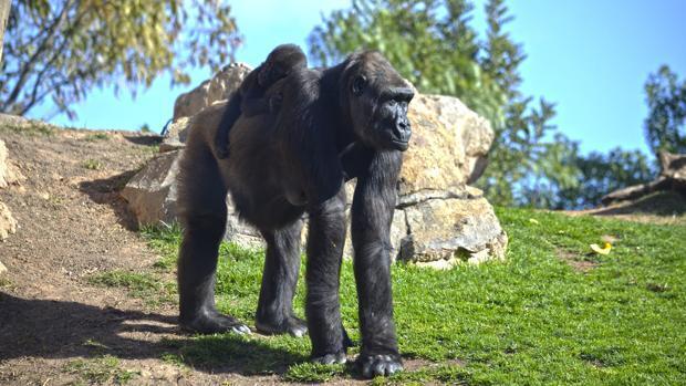 Vídeo: Mbeli, el bebé gorila de Bioparc Valencia cumple siete meses