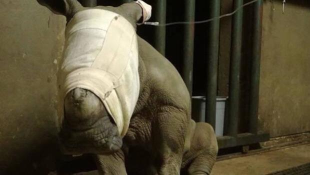 Una cría de rinoceronte intenta desesperadamente alimentarse de su madre muerta