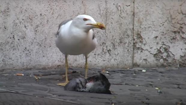 El brutal vídeo de una gaviota devorando a una paloma que se ha hecho viral en Youtube