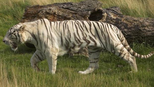 Un tigre mata a una cuidadora en un zoo de Cambridge