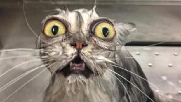 ¿Se puede bañar a un gato?
