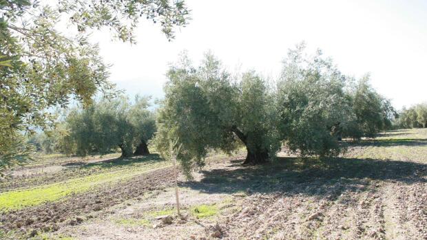 Olivicultores de Jaén piden riegos de apoyo tras perder la cuarta parte de la cosecha