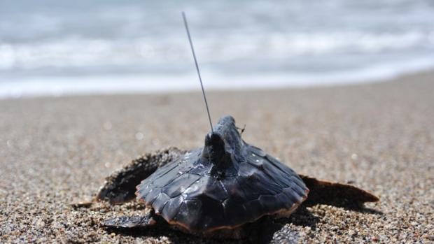 Tortugas bobas canarias que transmiten inteligencia
