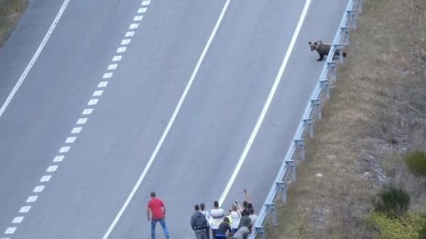 Denuncian el acoso de decenas de turistas a un oso en el Alto Sil leonés