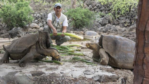Descubren qué especie de tortuga gigante posee el mejor caparazón «autovolteo»