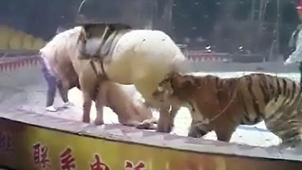 YouTube: El brutal ataque de un león y un tigre a un caballo en un circo chino