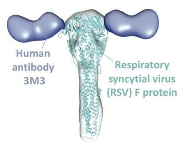 Más cerca de la ansiada vacuna frente a la bronquiolitis