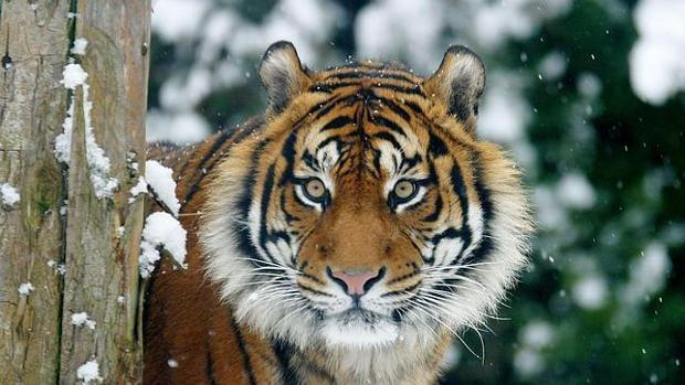 El tigre de Sumatra se aferra a la superviviencia pese a la deforestación