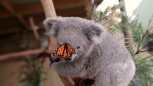Una mariposa se cuela en la sesión de fotos de dos koalas