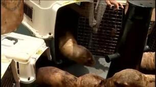 Una ONG peruana devuelve al océano nueve leones marinos