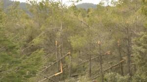 Las heladas y el viento del último temporal tumban más de un millón de árboles en la Comunidad Valenciana