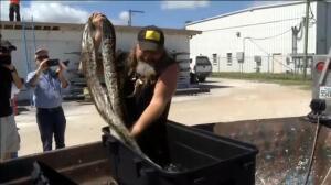 Florida aprueba la caza de serpientes pitón para reducir la plaga
