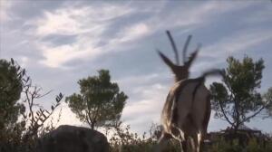 Las gacelas de Cuvier vuelven a nacer en Túnez 100 años después