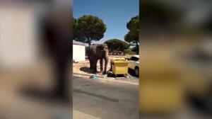 Un elefante se escapa de un circo y busca comida en contenedor