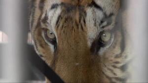 Un león y siete tigres, liberados de un circo