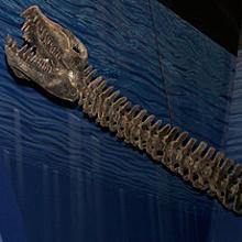 Reconstrucción de la cabeza de un elasmosaurio
