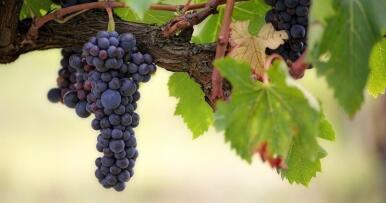 Andalucía es la novena región con mayor superficie de viñedo para vinificación de España