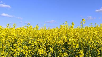 Euralis presenta la variedad de colza más productiva de Andalucía