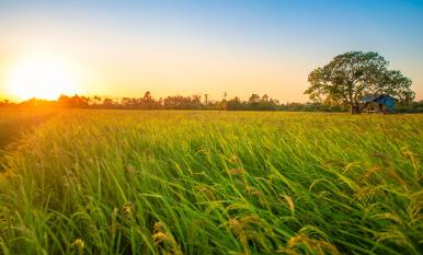 El herbicida definitivo para controlar las malas hierbas en el cultivo del arroz